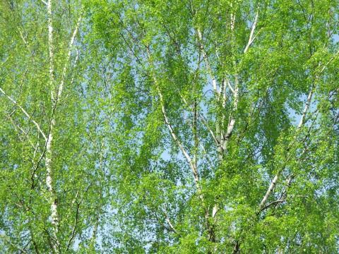 Красивая картинка летние берёзы на
