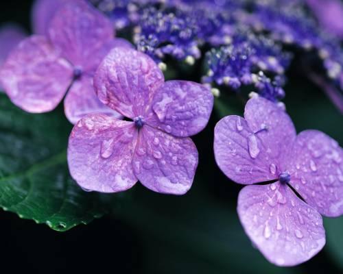 Красивая картинка цветы гортензии для