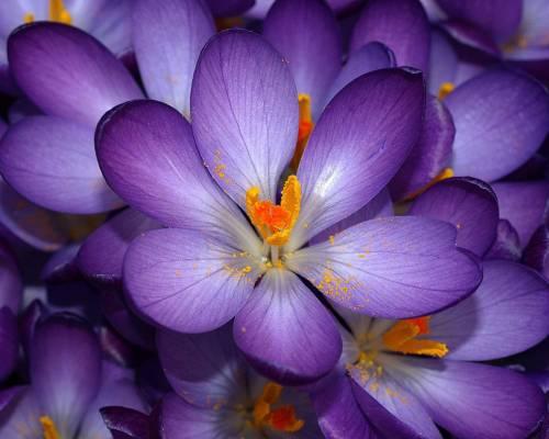 Обои цветы шикарные цветы крокусы