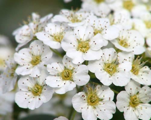 Фото обои цветы маленькие белые цветы