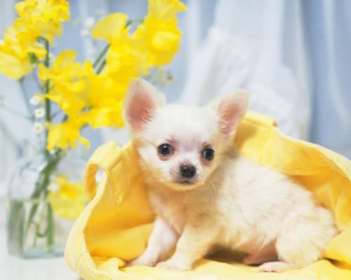 Красивая картинка Собака маленькая и цветы на рабочий стол ...