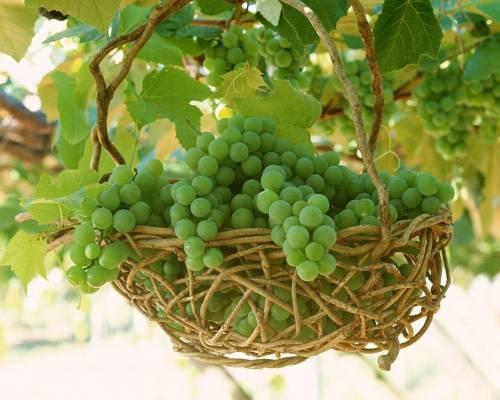 Грозди зелёного винограда