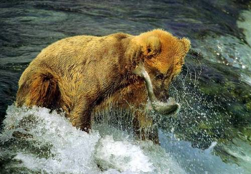 Медведь ловит рыбу