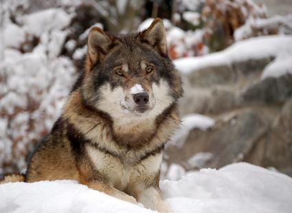 Картинка дикий волк на рабочий стол