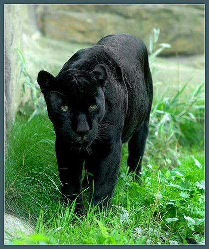 Красивая картинка пантера в траве на